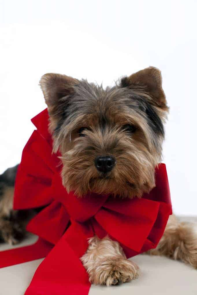 puppy with ribbon