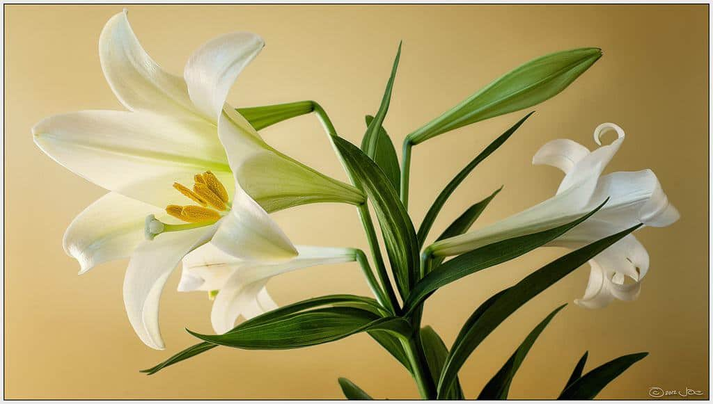 Easter Lily poisonous to pets