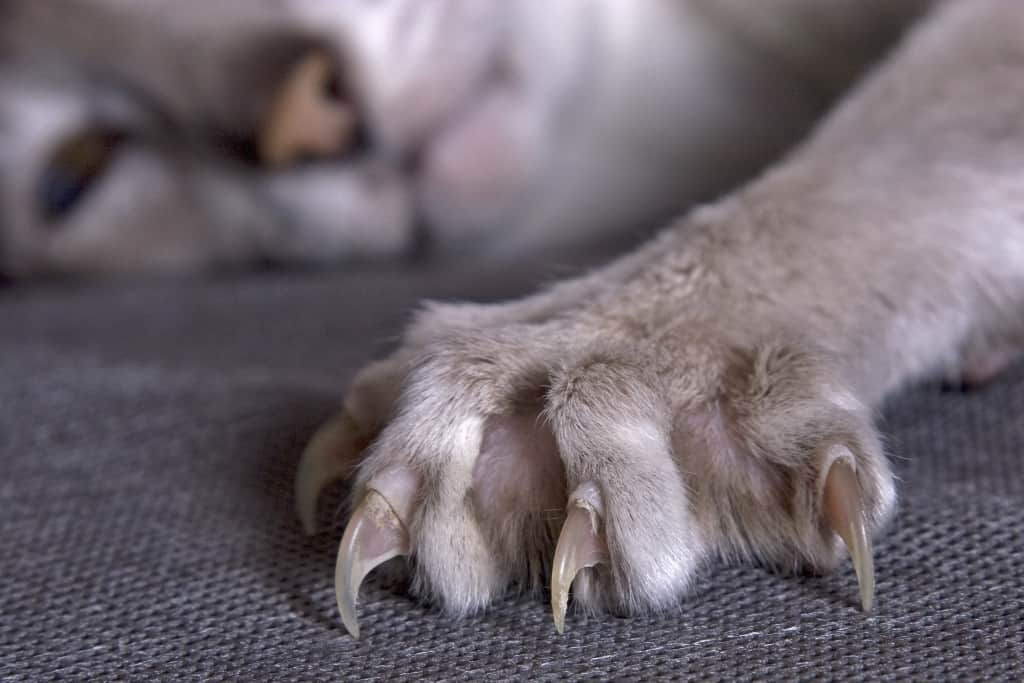 Largely cat's paw with the extended claws