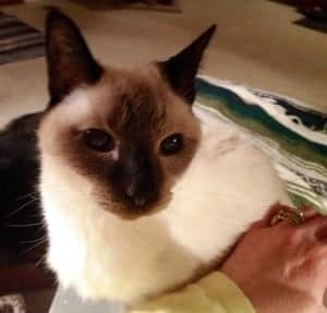old Siamese cat