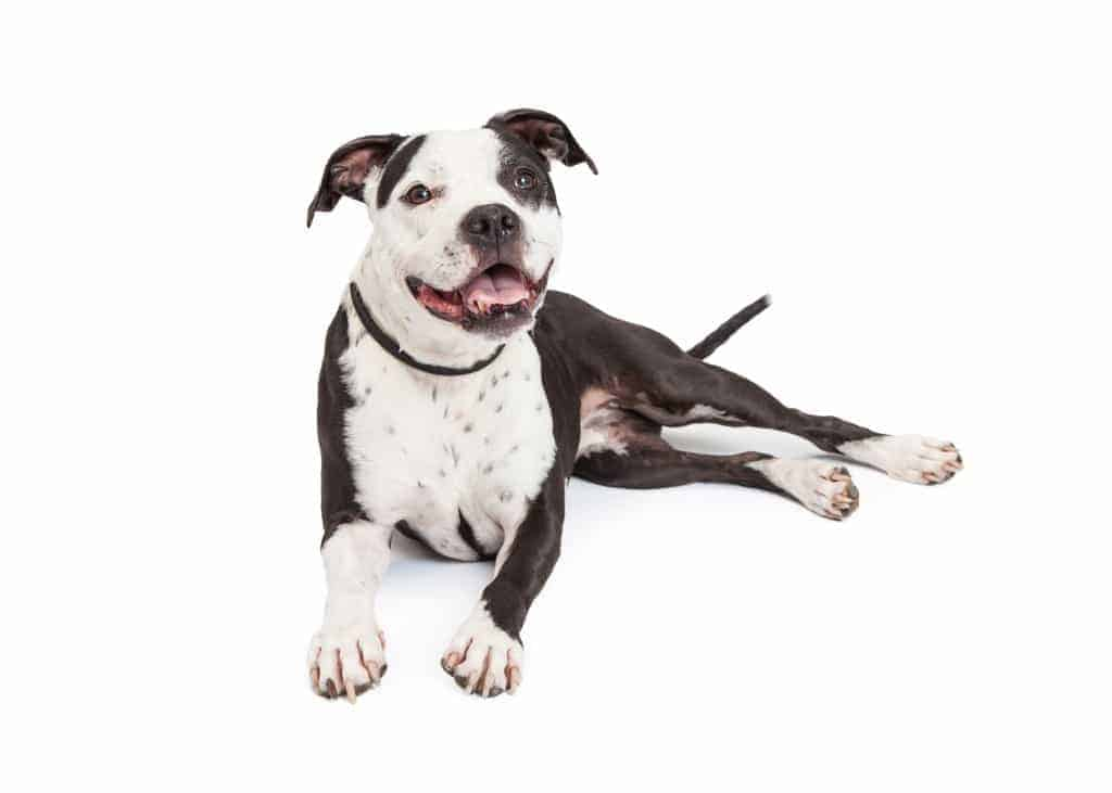 A friendly and obedient black and white Pit Bull breed dog laying down