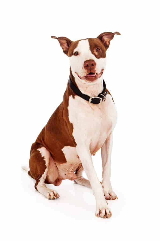 Brown and white Pit Bull dog sitting and looking at the camera with a happy expression