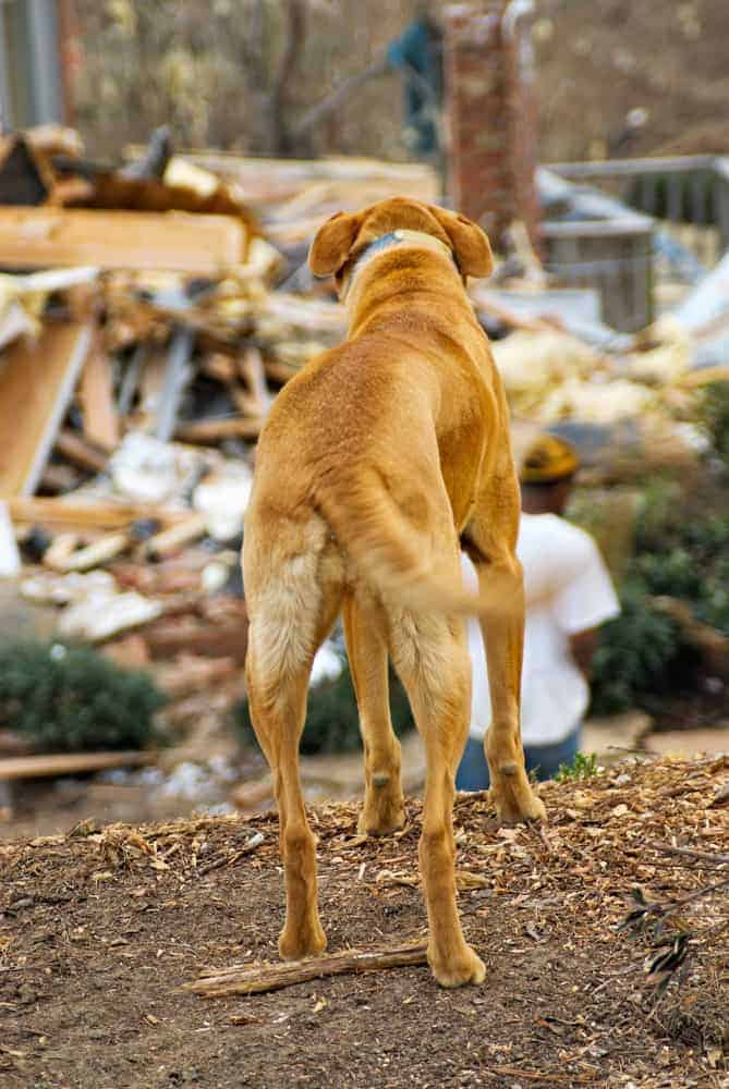 homeless dog looking at residential tornado destruction. Motion blur on his tail. Focus on back side or tail end of dog.
