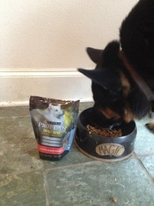 German shepherd eating ProPlan Bright Mind