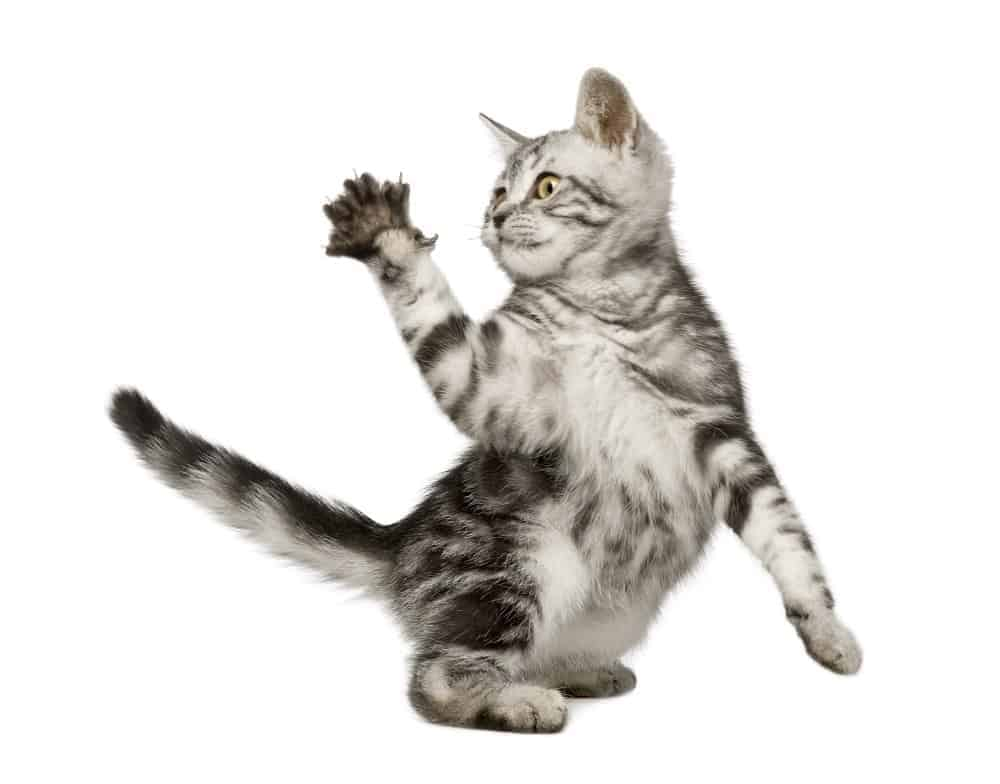 Siberian kitten clawing.