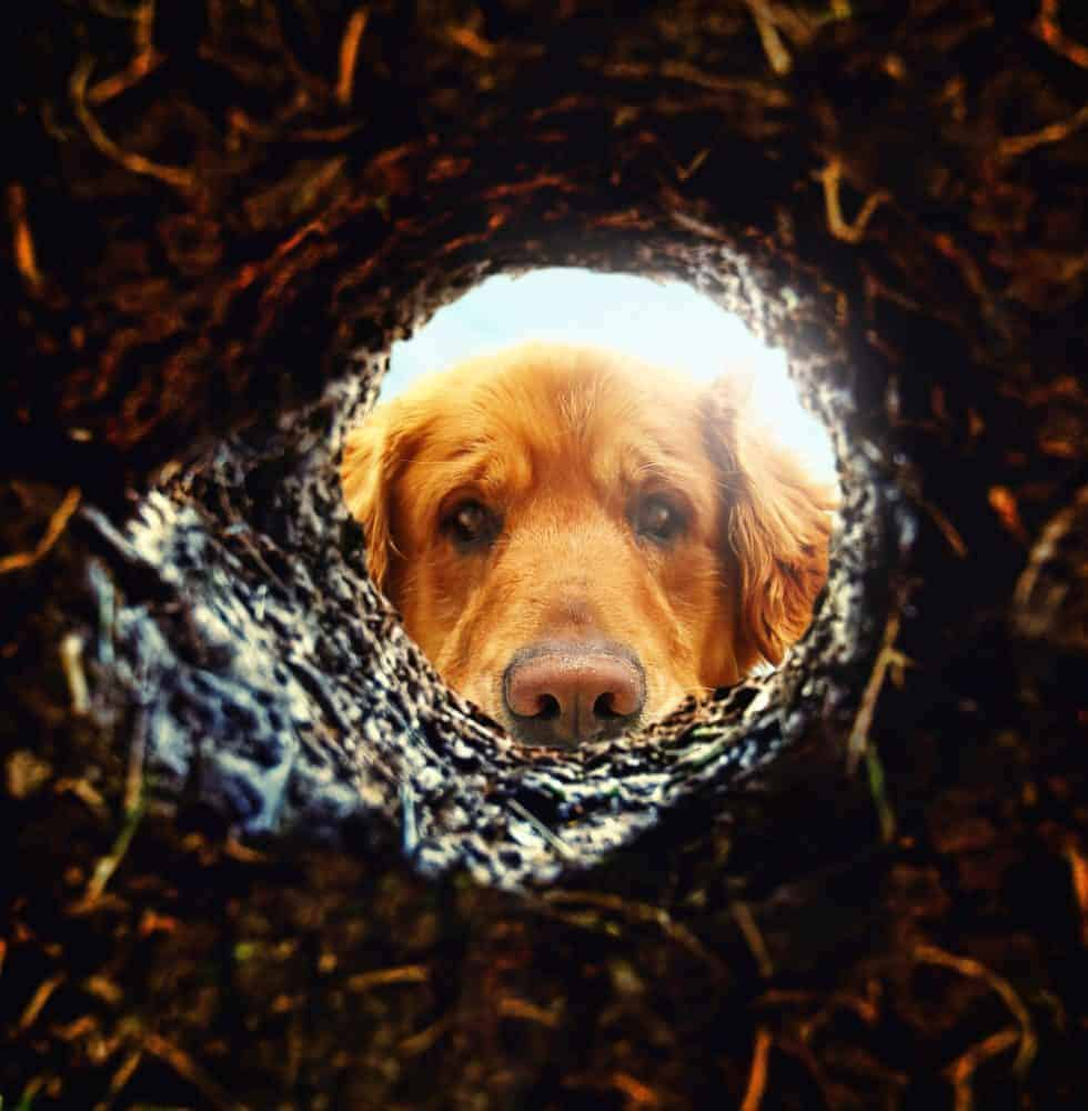 "Escape from a fence (aka ""boredom"") motivates many dogs to dig holes."
