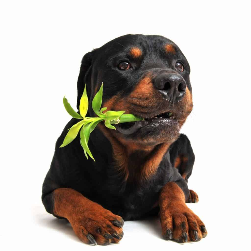 why dogs eat grass